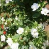 Bacopa 'Double White' (Water hyssop 'Double White')