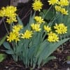 Allium moly (Golden garlic)