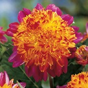 'Boogie Woogie' is a clump-forming, tuberous perennial with divided, dark green foliage and magenta-pink flowers with red-tinged, yellow-orange centres in summer and autumn. Dahlia 'Boogie Woogie' added by Shoot)