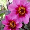 Dahlia 'Happy' (Dahlia 'Happy Collection')
