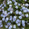 Myosotis sylvatica 'Royal Blue'