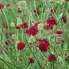 Knautia macedonica 'Red Knight' (Macedonian scabious 'Red Knight')