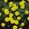 Tagetes patula 'Yellow Boy'