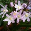 Chionodoxa forbesii 'Pink Giant' (Glory of the snow 'Pink Giant')