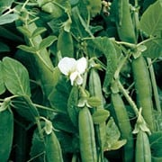 'Alderman' is a tall, climbing, perennial legume, often grown as an annual, forming small white flowers followed by bumber crops of long green pods with great flavour in summer. Pisum sativum 'Alderman' added by Shoot)