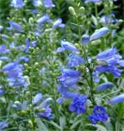 Penstemon heterophyllus 'Electric Blue'