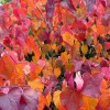Cercis canadensis 'Forest Pansy' (Redbud 'Forest Pansy')