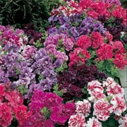 Petunia multiflora Duo Double Mix