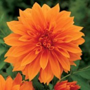 'Babylon Bronze' is a clump-forming,  tuberous perennial with toothed, dark green, sometimes purple-flushed, pinnate leaves and large, double, orange-red flowers blooming from midsummer to mid-autumn. Dahlia 'Babylon Bronze' added by Shoot)