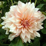 'Cafe au Lait' is a clump-forming, tuberous perennial with toothed, dark green leaves and large, double, peach-flushed, creamy-white flowers blooming from midsummer until autumn.