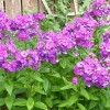 Alpine phlox Flame Series (Phlox subulata Flame Series)