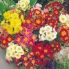 Primula Giant Thrill Series, mixed (Polyanthus 'Giant Thrill' Mix)