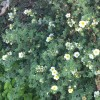 Potentilla fruticosa 'Primrose Beauty' (Shrubby cinquefoil 'Primrose Beauty')