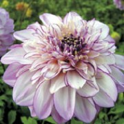 'Brindisi' is a clump-forming, tuberous perennial with toothed, dark green, pinnate leaves and large, white to pale lavender-pink flowers with darker lavender edges blooming from midsummer to autumn.  Dahlia 'Brindisi' added by Shoot)