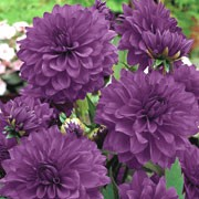 'Blue Bell' is a clump-forming, tuberous perennial with toothed, dark green, pinnate leaves and deep violet flowers blooming from midsummer to mid-autumn Dahlia 'Blue Bell' added by Shoot)