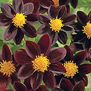'Chocolate Sundae' is an upright, spreading, tuberous perennial with toothed, dark green, pinnate leaves and large, single, maroon flowers with bright yellow centres blooming from midsummer to autumn