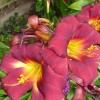 Lily 'Dimention' (Lilium 'Dimention')