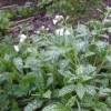 Pulmonaria 'Sissinghurst White' (Lungwort 'Sissinghurst White')