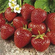'Alice' is a perennial with white flowers in spring, producing edible, soft red strawberries in early summer to autumn. Good resistance to Verticillium wilt and to Crown rot. Fragaria x ananassa 'Alice' added by Shoot)