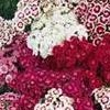 Dianthus barbatus Perfume Series (Sweet william 'Perfume' Mix)