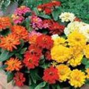'Short Stuff' Mixed is a dwarf, compact, clump forming annual with green, lance shaped leaves and large, rounded, double blooms in yellow, pink, scarlet, orange or white that bloom in late summer. Zinnia elegans 'Short Stuff' Mixed added by Shoot)