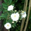 Rosa 'Rambling Rector' (Rose 'Rambling Rector')