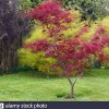 Acer palmatum (Japanese maple)