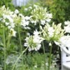 Agapanthus africanus 'Albus'  (White African lily)