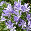 Agapanthus umbellatus   (Lily of the Nile)