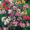 Alstroemeria Ligtu Group (Peruvian lily Ligtu Group)