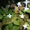 Epimedium x youngianum 'Niveum' (Snowy barrenwort)