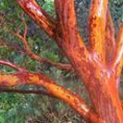 Arbutus x andrachnoides   added by Shoot)