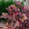 Heuchera micrantha 'Palace Purple' (Alum root 'Palace Purple')