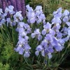 Iris 'Jane Phillips' (Iris 'Jane Phillips')