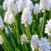 Muscari botryoides 'Album'  (White grape hyacinth)