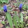 Muscari latifolium (Broad-leaved grape hyacinth)
