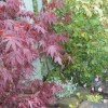 Acer palmatum 'Bloodgood' (Japanese maple 'Bloodgood')
