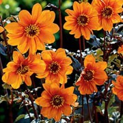'Bishop of Oxford' is a herbaceous perennial, with bronze-purple foliage and coppery-orange flowers on straight stems throughout summer and into early autumn. Dahlia 'Bishop of Oxford'  added by Shoot)