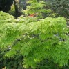 Japanese maple 'Red Wood' (Acer palmatum 'Red Wood')