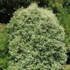 Pittosporum tenuifolium 'Silver Queen' (Pittosporum 'Silver Queen')