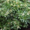 Pittosporum tobira (Japanese pittosporum)