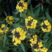 'Yellow Bird' is a compact, biennial that forms a bushy mound of dark green leaves the first season, then early in the second spring it forms clusters of fragrant golden-yellow flowers. Erysimum 'Yellow Bird' added by Shoot)