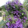 Clematis Viticella Group 'Polish Spirit' (Clematis 'Polish Spirit')