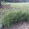 Red buttons fountaingrass (Pennisetum messiacum 'Red Buttons')