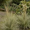 Calamagrostis x acutiflora 'Overdam' (Variegated feather reed grass)
