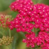 Achillea 'Rose Madder' (Yarrow 'Rose Madder')