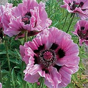 'Manhattan' is an herbaceous perennial with finely divided leaves and papery, lavender plum flowers with a black basal blotches in spring and summer. Papaver orientale 'Manhattan' added by Shoot)