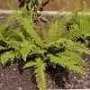 Polystichum setiferum 'Herrenhausen' (Soft shield fern 'Herrenhausen')