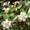 Cotoneaster horizontalis (Wall cotoneaster)
