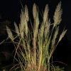 Calamagrostis brachytrich (Korean feather reed grass)